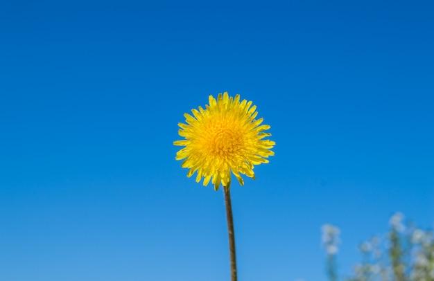 Dente-de-leão amarelo de florescência contra um céu azul em um dia de verão ensolarado, conceito da ecologia, cópia do espaço