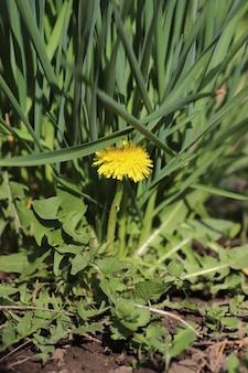 Dente-de-leão amarelo entre folhas verdes e plantas em um dia ensolarado de verão