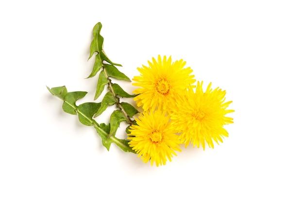Dente-de-leão amarelo florescendo isolado no branco