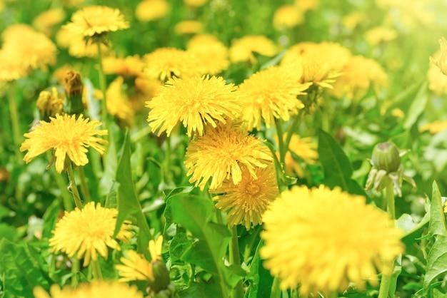 Dente-de-leão amarelo no campo verde closeup no verão