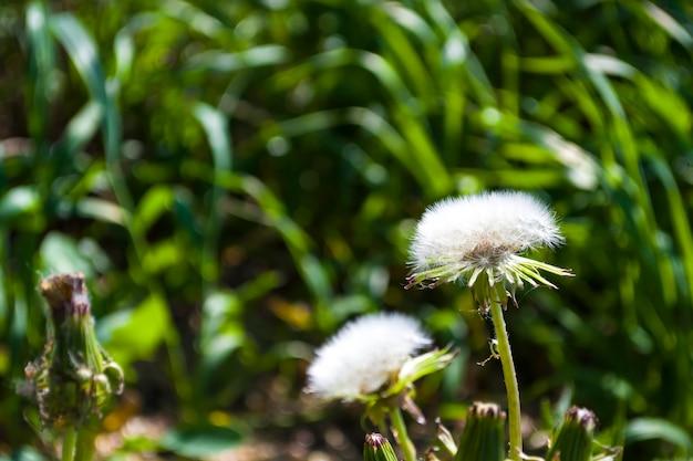 Dente-de-leão com sementes close-up sobre um fundo verde