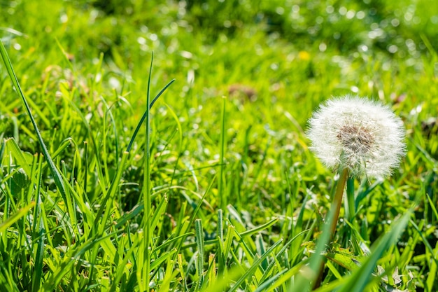 Dente-de-leão comum na grama verde