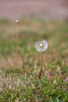 Dente-de-leão delicado com pára-quedas na grama