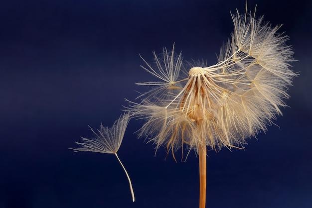 Dente de leão e suas sementes voadoras sobre um fundo azul escuro. botânica de flores