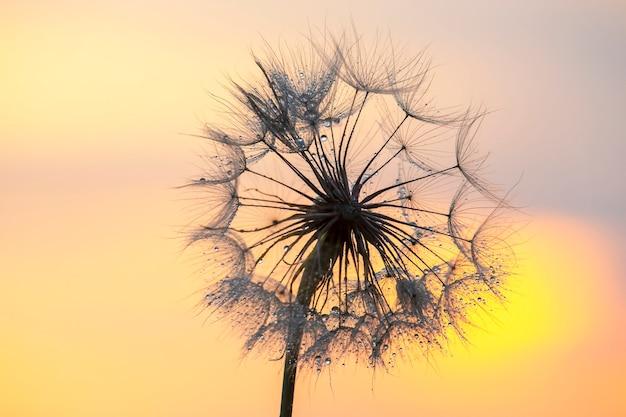 Dente de leão em silhueta contra o céu do pôr do sol. natureza e botânica das flores