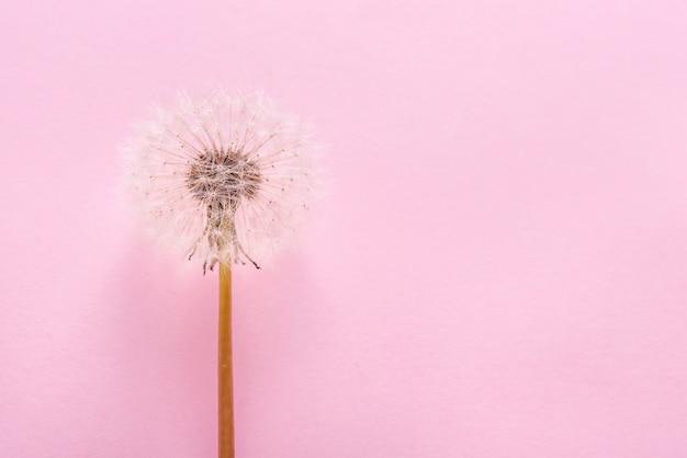 Dente de leão, flor de blowball fechar no bacground rosa, copie o espaço