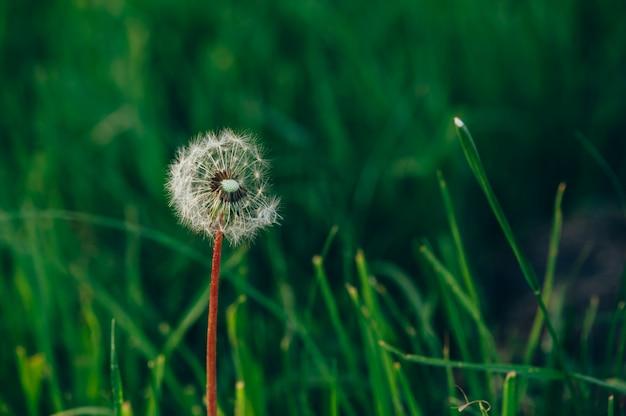 Dente-de-leão macio branco em um fundo da grama verde esmeralda. frágil.