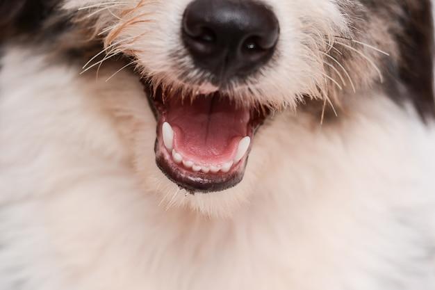 Dentes de cães