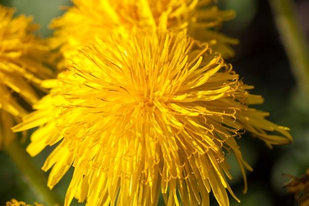 Dentes-de-leão amarelos brilhantes florescendo no campo na primavera