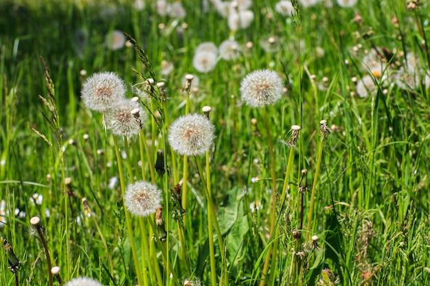 Dentes-de-leão florescem no gramado na primavera