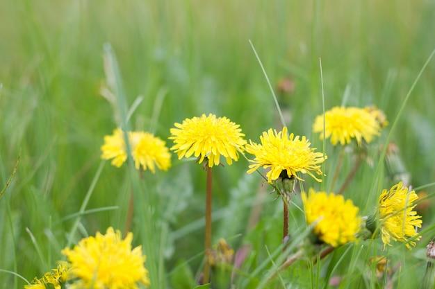 Dentes-de-leão sós no fim da grama verde acima. temporada de primavera. prado verde.