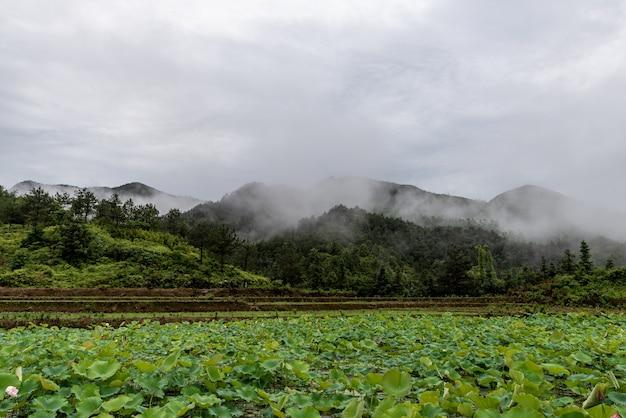 Depois da chuva, a lagoa de lótus no campo