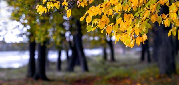 Derva com folhas amarelas na floresta de outono perto do rio