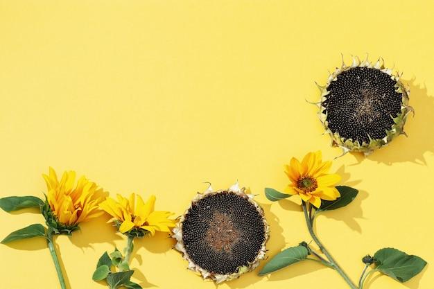 Desabrochando flores amarelas de girassol e sementes em fundo de papel com espaço de cópia.
