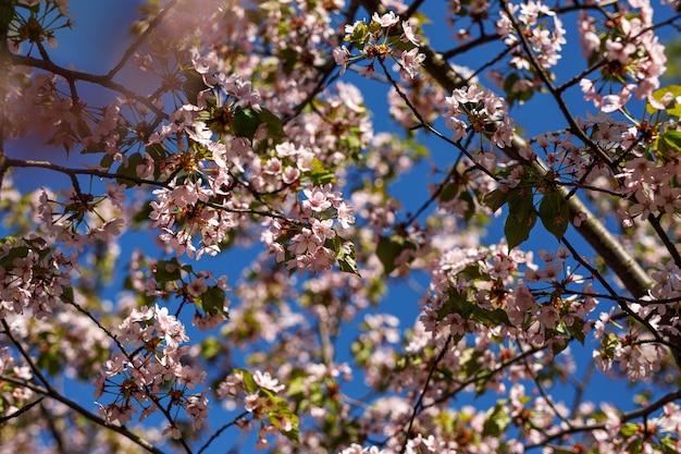 Desabrochando flores cor de rosa no galho. fundo de primavera.
