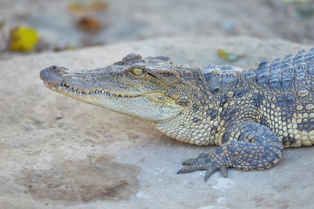 Descanso de crocodilo de água doce siamês
