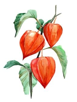 Desenho em aquarela de physalis laranja. estação do outono