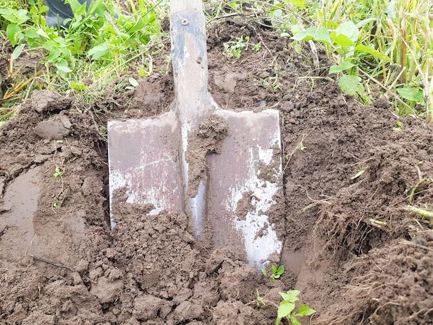 Desenterrando batatas com uma pá em terras agrícolas