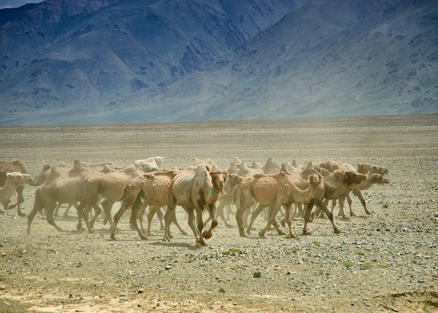 Deserto de gobi de camelo bactriano ou de duas corcovas, mongólia