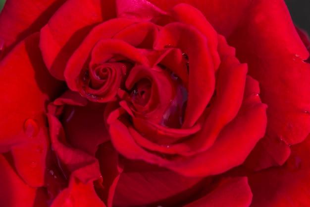 Desfocar fundo de pétalas de rosa