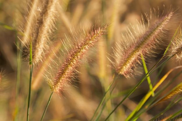 Desho grama, pennisetum pedicellatum e luz solar do pôr do sol