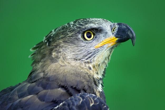 Detalhado na face da águia coroada (stepphanoaetus coronatus).