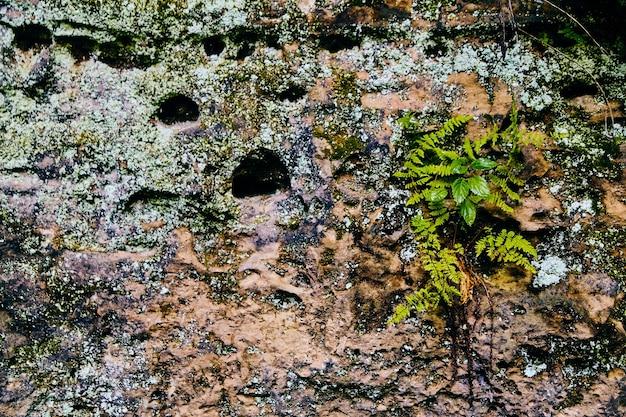 Detalhe a textura da parede de pedra com samambaias e líquenes