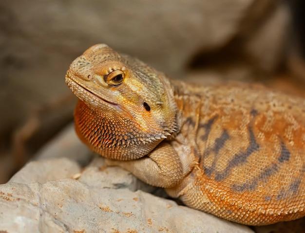 Detalhe da cabeça de agama em um terrário, comumente chamado de dragão barbudo.
