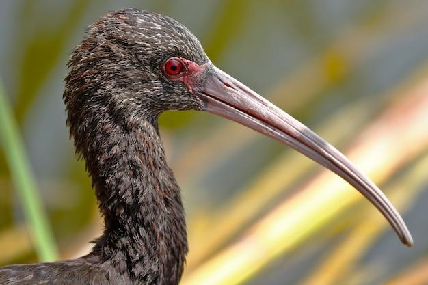 Detalhe da cabeça de um ibis, olhando para a câmera