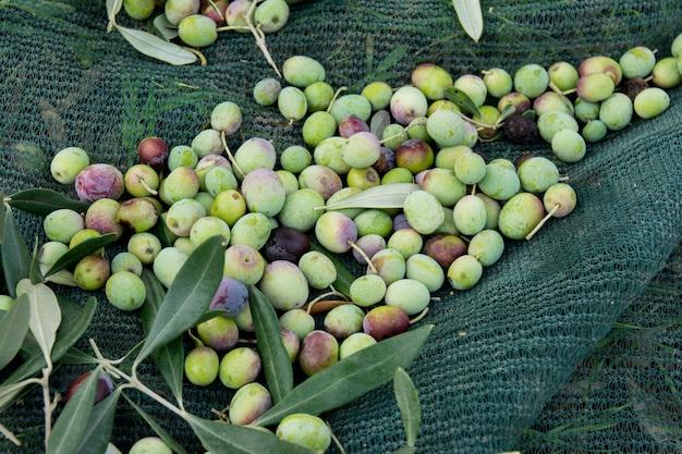 Detalhe da colheita da azeitona