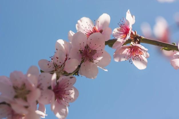 Detalhe da flor de um pessegueiro na primavera.