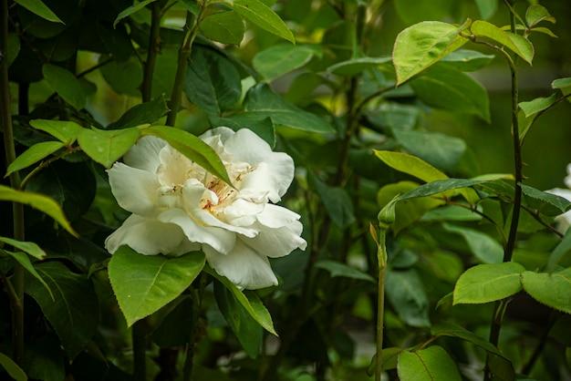 Detalhe da flor rosa na natureza na primavera