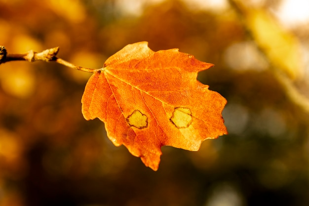 Detalhe da folha de azinheira laranja no outono no parque natural fuente roja, alcoi, alicante, espanha.