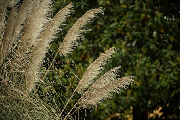 Detalhe da grama dos pampas com fundo verde desfocado