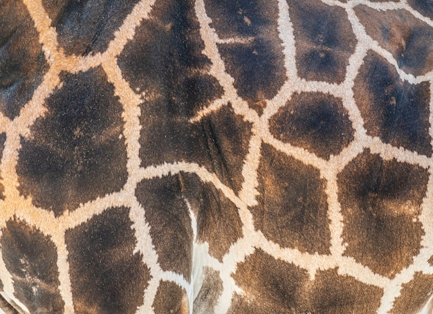 Detalhe da pele em uma girafa africana
