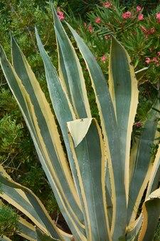 Detalhe da planta de aloe, uma planta gordurosa muito colorida e colorida, típica de áreas desérticas