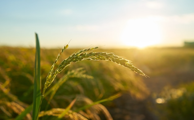 Detalhe da planta de arroz ao pôr do sol em valência, com a plantação fora de foco. grãos de arroz na semente da planta.