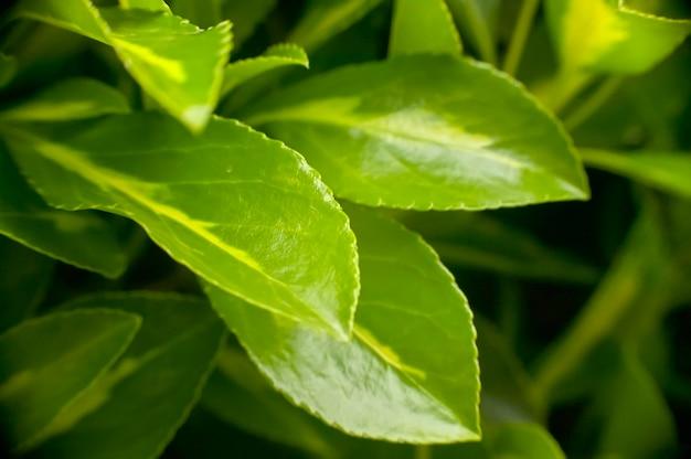 Detalhe de algumas folhas de uma sebe nas primeiras horas da manhã