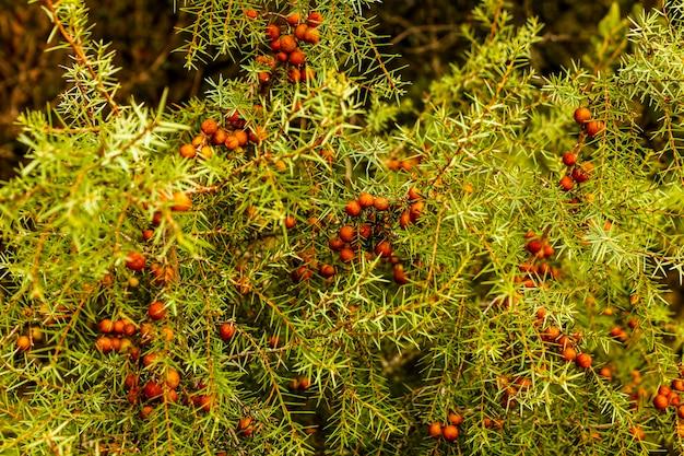 Detalhe de arbusto com frutas no parque natural de fuente roja, alcoi, alicante, espanha.