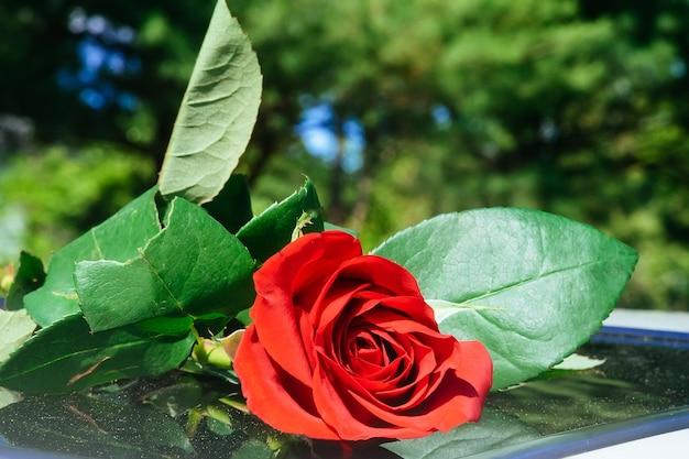 Detalhe de arbusto de rosas vermelhas
