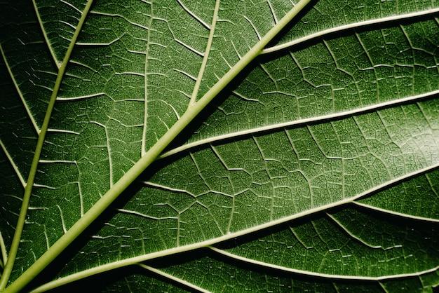 Detalhe de close-up de uma folha de amoreira, iluminada pelo sol