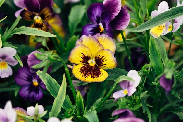 Detalhe de close-up de violeta amor-perfeito wittrockiana