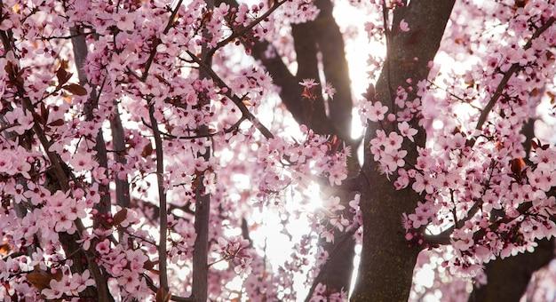 Detalhe de flor de cerejeira ao pôr do sol na primavera