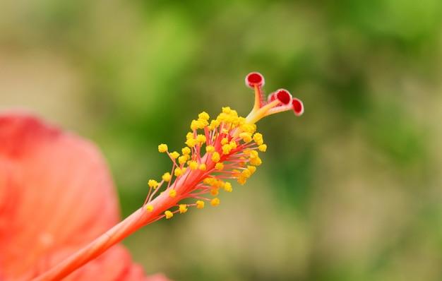 Detalhe de flor de hibisco