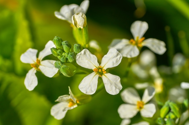 Detalhe de flores brancas de rúcula rúcula
