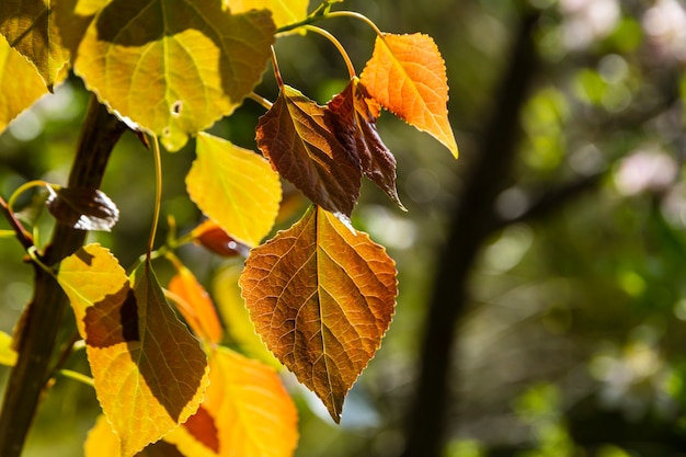 Detalhe de folhas de choupo amarelado no outono na floresta.