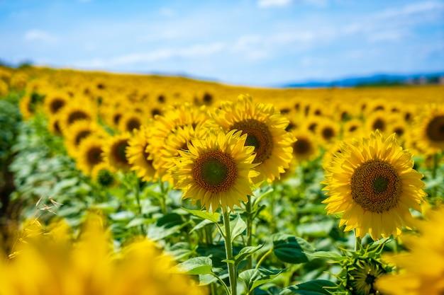 Detalhe de girassóis em um campo de girassóis aberto no verão olhando para o sol
