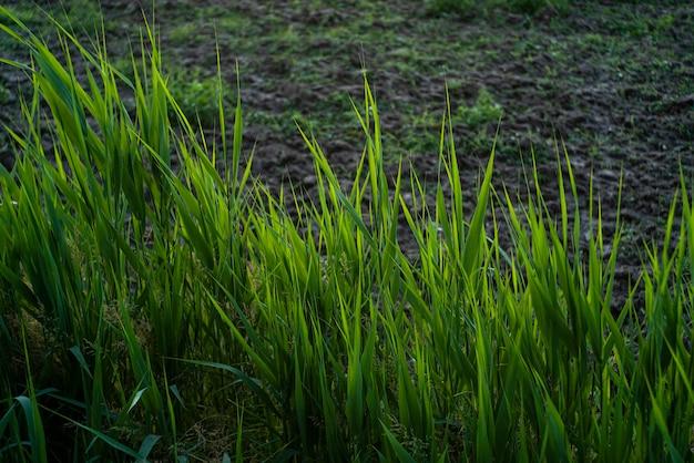 Detalhe de grama de vala ao pôr do sol no campo na primavera