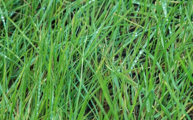 Detalhe de grama verde fresca molhada com pingos de chuva
