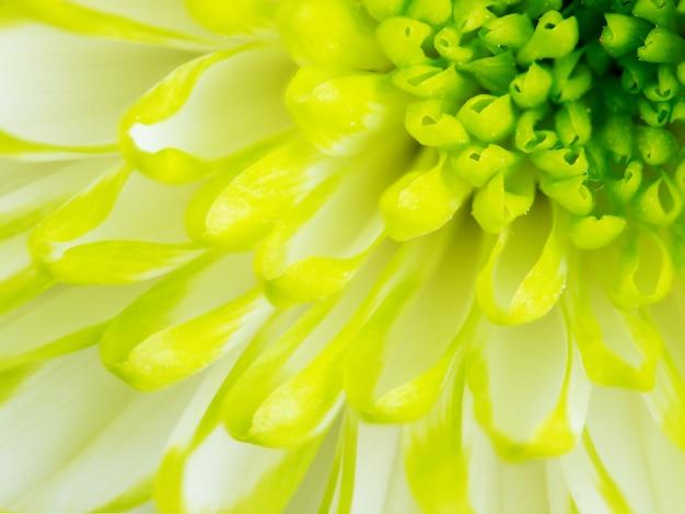 Detalhe, de, lima verde, crisântemo, flor, quadrado, backround